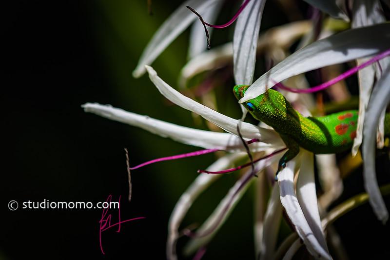 gecko, spider lily (Crinum asiaticum), taken 5/28/2013, Foster Botanical Garden, Honolulu