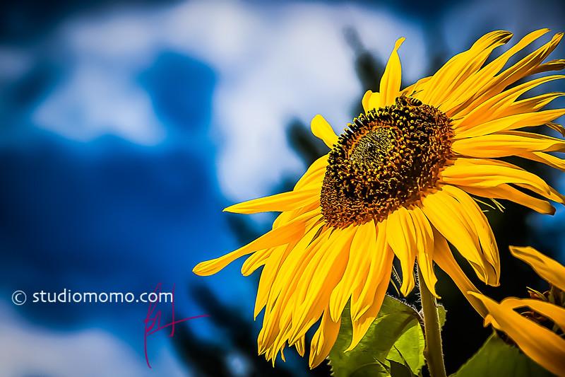 sunflower (Helianthus annuus), taken 27 August 2005, at the Bellevue Demonstration Garden