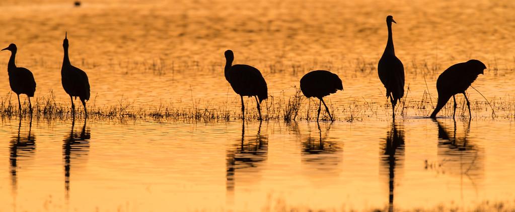 Sandhill crane at sunset