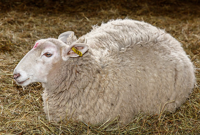 Cows Calves and Sheep (and soon Lambs)