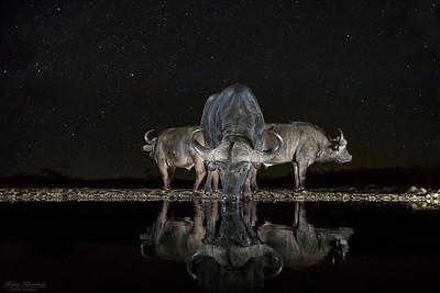 Afrikanska bufflar och stjärnhimmel