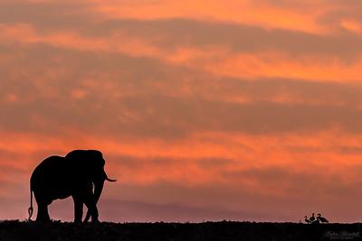 Elefanter och gäss