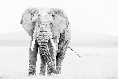 Elefanttjur