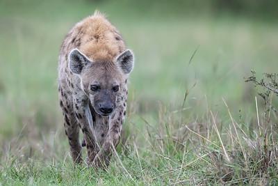 Fläckig hyena