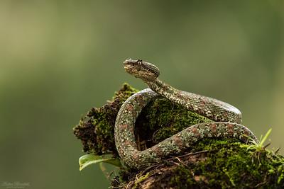 Eyelash Viper, brungrön form