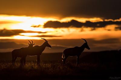 Topi i solnedgång