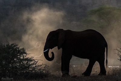 Elefant i damm