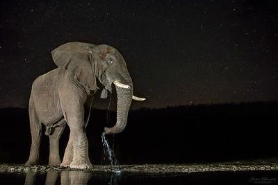 Elefant och stjärnhimmel