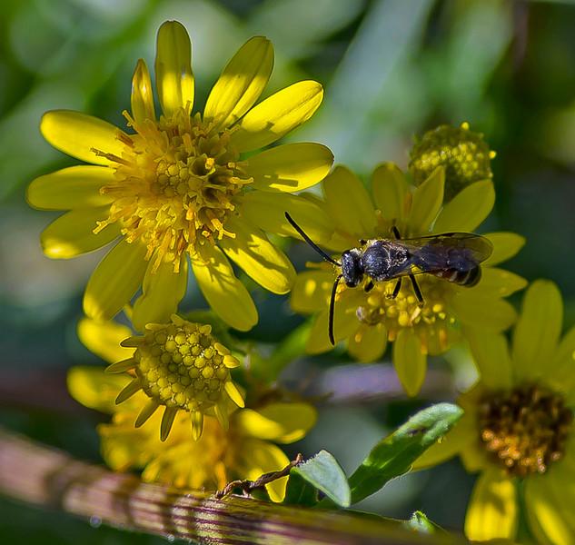 Lasioglossum calceatum, (Male)