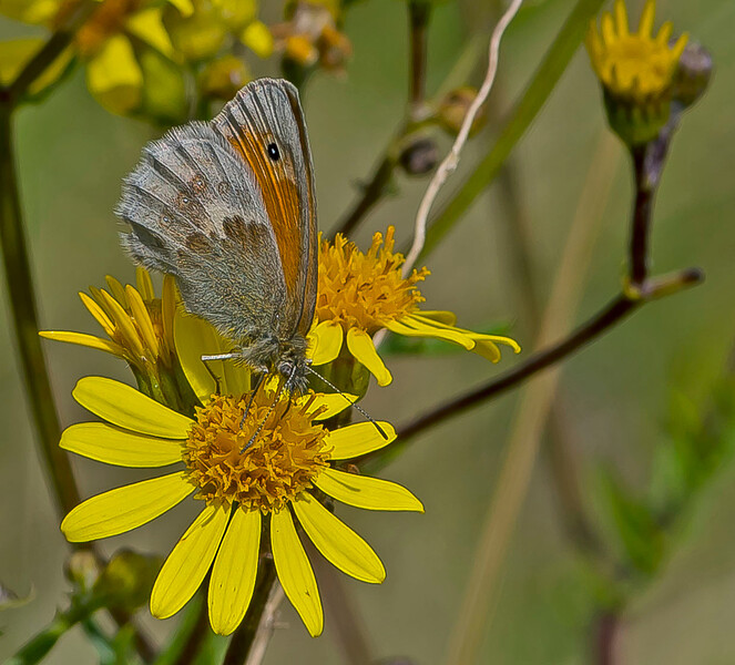 Coenonympha pamphilus, Small Heath