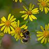 Bombus terrestris, Buff-tailed Bumblebee