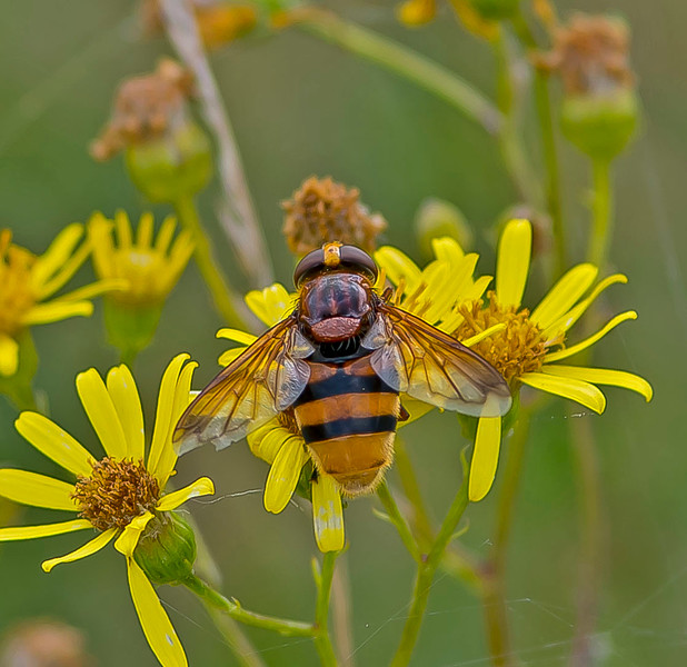 Volucella zonaria (Female)