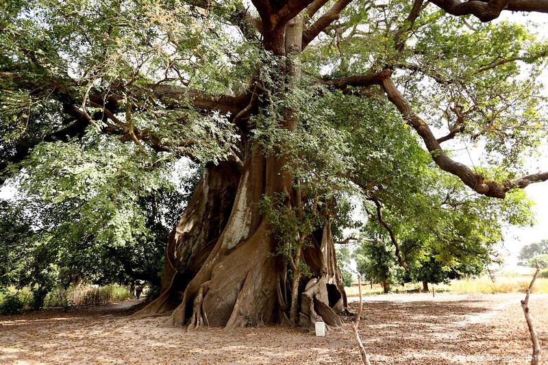 Bantaoro Tree