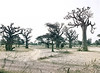 Boabab Trees on Highway N2, Theis, Senegal