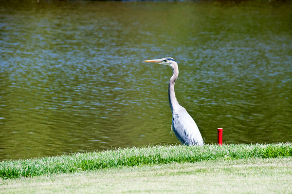 This blue heron was a regular on the front nine.  He had a great view of the action!