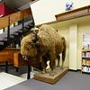 The Golden Buffalo