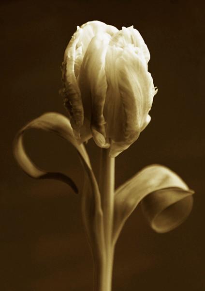 Tulip 3