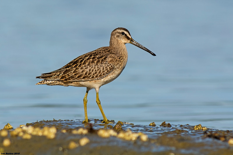 shoet-billed dowitcher neah bay washington