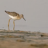 stilt sandpiper oceanshores washington
