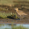 pacific golden-plover oceanshores washington