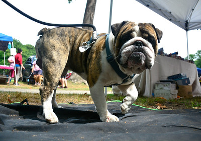 9/3/2016 Mike Orazzi | Staff Pocho, an English Bulldog, at the 2nd annual Bow Wow Bark in the park held in Bristol's Rockwell park on Saturday.