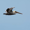 brown pelican oceanshores washington