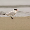caspian tern oceanshores washington