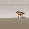 red knot oceanshores washington