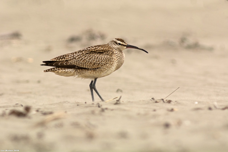 whimbrel oceanshores washington