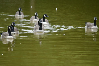 9/18/2018 Mike Orazzi | Staff Some Canadian geese swim in the lagoon at Page Park on rainy afternoon in Bristol Tuesday as the remains of Florence passed through New England.