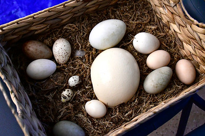 9/29/2018 Mike Orazzi | Staff Livingston Ripley Waterfowl Conservancy's Jay Fields collection of different sized eggs during a presentation on birds at the Indian Rock Nature Center in Bristol Saturday morning.
