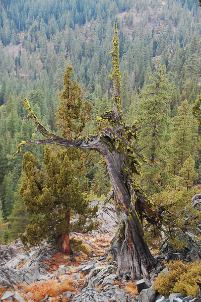 Gnarled old tree on Henness Pass.