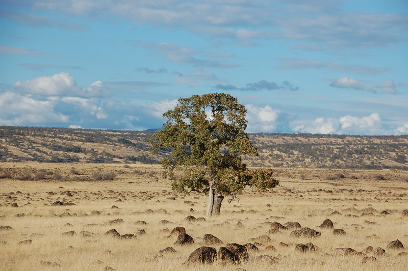 View of the Tehama State Wildlife Area from Hogsback Rd, Red Bluff.  A solitary tree stands sentinel over the volcanic rocks that litter the landscape.