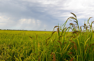 Dark clouds drop rain over the Chico area as seen from a rice field Wednesday in Richvale. (Matt Bates -- Enterprise-Record)