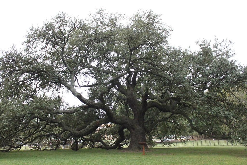 Emancipation Oak