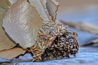 """Caterpillar of the Leaf Case Moth."""