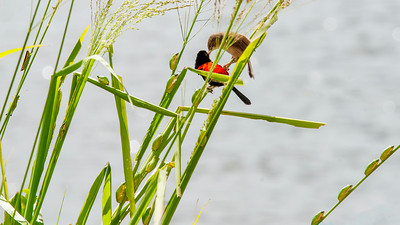 """""""Male and Female Red-backed Fairy Wren and Friends."""""""