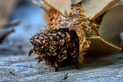 Caterpillar of the Leaf Case Moth.