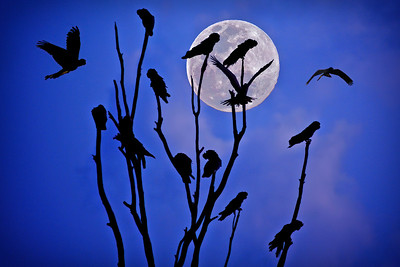 """""""Red-tailed Black Cockatoos and Full Moon Arising."""""""