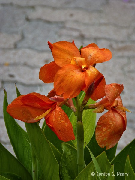 canna: South Pacific Orange