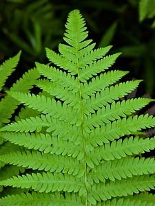 southern wood fern