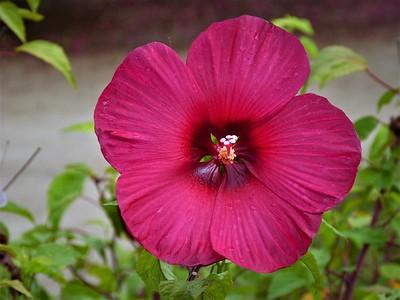 hibiscus: Flare