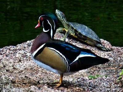 wood duck and turtle