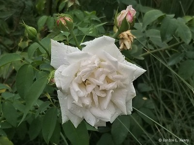 tea rose: Mademoiselle De Sombreuil