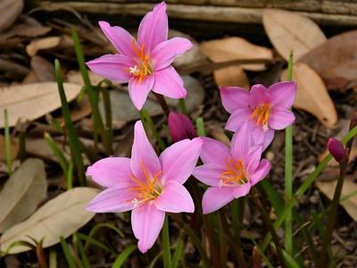 rainlily