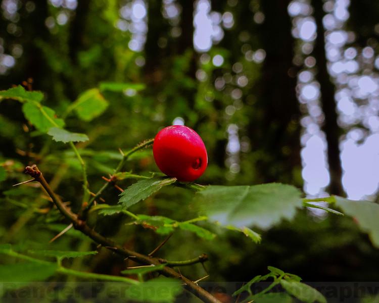 Wild Rose Hip