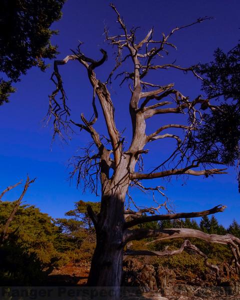 Sargent Cypress Snag