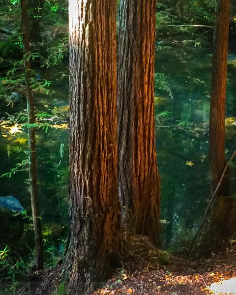 Kent Pump Road Redwoods