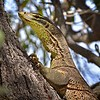 Goanna, on Tree, Townsville Common. 2.