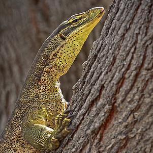 Goanna, on Tree, Townsville Common. 3.
